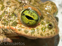 DSCN2722 (Chrisaetos) Tags: espaa 2004 fauna andaluca abril lugares meses sapos ao almera aguamarga parquenaturalcabodegata reptilesyanfibios