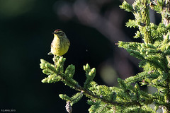 Palm Warbler, Gander (frank.king2014) Tags: ca canada gander palmwarbler newfoundlandandlabrador