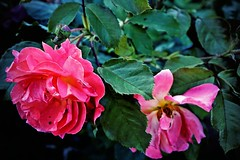 The Pink Flower (violinivanov) Tags: flower macro sony a6000 bulgaria varna