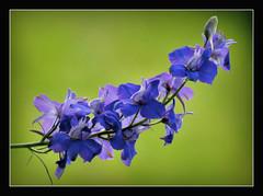 Ackerrittersporn (karin_b1966) Tags: plant flower nature garden blossom natur pflanze wildplant blume blte garten 2016 wildpflanze ackerrittersporn yourbestoftoday