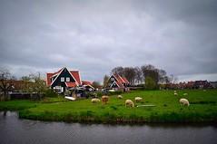 (Lorybusin) Tags: travel viaje nederland marken olanda oveja gregge
