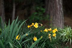 6.16.16 (Josh Meek) Tags: plant flower nature water rain yellow garden outdoor mastinlabs