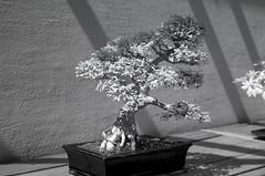 DSC_3868s (An Xiao) Tags: arboretum bonsai penjing