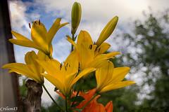 Lys contre-plonge. (Crilion43) Tags: arbres france vreaux divers ciel lys jardin centre canon paysage nuages fleurs cher rouge brouillard herbe jaune nature orange rflex sapin thuya
