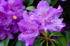 Lovely in Purple (gabi-h) Tags: flowers ireland green beauty leaves garden purple blossoms rhododendron blooms gabih