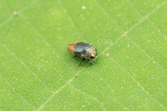 Buprestidae. Trachys sp.~3-4mm (David Ball.) Tags: singapore buprestidae trachys canon270exii