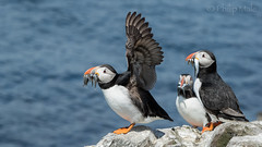 ... Hands up if you think you won the fishing contest ... (Grandpops Woodlice) Tags: northumberland puffin farneislands farnes sandeels stapleisland