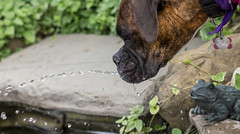 Thirsty Girl (Tom Frundle) Tags: travel family summer dog pet color cute water fountain goofy fun outdoors pond backyard funny dof boxers pentax michigan lol boxerdog frog boxer summertime pup cuteness willa waterfountain summerfun thirst doggie thirsty waterstream 2016 pentaxian pentaxk3 pentaxda5018 da5018 willa2013