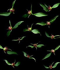 57394.01 Paeonia (horticultural art) Tags: flying peony buds fluttering paeonia flowerbuds horticulturalart