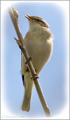 Willow Warbler (Phylloscopus trochilus) (Steviepix) Tags: bird nature photo spring wildlife buckinghamshire may naturereserve wildlifetrust pitstone bbowt willowwarbler phylloscopustrochilus collegelake 2013 naturesubjects steviepix