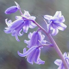 Bluebells (Patsy L Smiles) Tags: flowers bluebells mygarden elementsorganizer