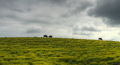 Clouds, Cows, and Wild Flowers (Sean Sebastian) Tags: county flowers wild panorama storm nature field rain yellow clouds photoshop lens 50mm three nikon cattle cows outdoor farm kentucky side hill panoramic land nikkor f18 dslr stitched harding elizabethtown tonemapped d300s