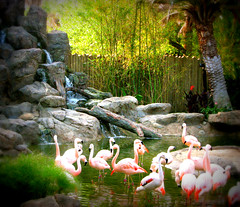 Flamingo Island (snap713) Tags: houston chileanflamingo houstonzoo