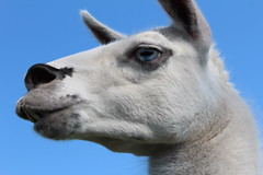 Wise Guy  Explore # 87 ( 8 - 5 - 2013 Thanks !!! (excellentzebu1050) Tags: closeup farm llama explore lama animail explored takenwithlove mygearandme thegoldenachievement rememberthatmomentlevel1 vigilantphotographersunite vpu2