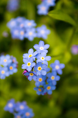 Forget-me-not flower (laurabaay) Tags: flowers blue flower macro green nature floral closeup botanical flora botanic forgetmenot greenbackground