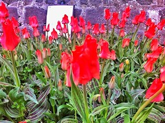 Red tulips in Bridge of Allan (18/365) (a_moir2013) Tags: flowers red plants garden tulips project366 uploaded:by=flickrmobile flickriosapp:filter=nofilter