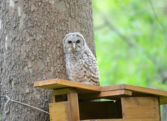baby barred owl (bob schlake) Tags: baby owl barred