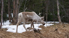Early May Reaindeer (Swedish Scrapper | Liz Tillstrom) Tags: reindeer sweden jmtland
