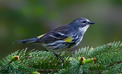 Yellow-rumped Warbler (Moira F.) Tags: nature birds warblers
