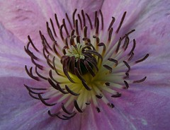Clematis (SabineausL) Tags: flowers flower color macro nature colors closeup lumix flora colorful blossom natur clematis rosa panasonic blume makro blte notripod nahaufnahme farben frhling kletterpflanze withouttripod klematis farbenprchtig waldreben ohnestativ macroflowerlovers awesomeblossoms dmctz4 panasonicdmctz4 sabineausl macromagister