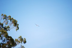 DSC_1080 (john.r.d.reynolds) Tags: goldengatepark birds wildlife flight raptors redtailedhawk