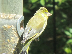 Green Finch (rosie.harnden@btinternet.com) Tags: summer bird nature garden wildlife greenfinch