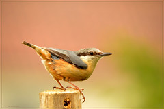 Garden Nuthatch perfection (bobspicturebox) Tags: flowers trees red kite nature robin birds clouds geese ducklings starling sparrow poppies rowan nuthatch greylag gosslings migies