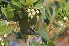 Korimako - bellbird - Anthornis melanura (Steve Attwood) Tags: newzealand christchurch bird nature canon victoriapark wildlife canterbury strawberrytree arbutusunedo bellbird anthornismelanura korimako