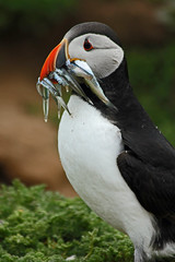 Skomer Puffin 1 (John Ibbotson (catching up!)) Tags: sea wales island cymru puffin pembrokeshire seabird skomer explored photographyforrecreationeliteclub