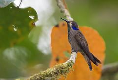 Chilln Pardo, Brown Violetear (Colibri delphinae) 53 (jjarango) Tags: birding aves pajaros birdwatching colibr avesdecolombia birdingcolombia avesdecolombiaavescolombiabirdingbirdwatchingpjaros
