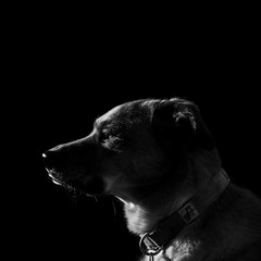 Imitation (Creative_Light_Photography) Tags: dog chattanooga 50mm ginger birmingham nikon nashville huntsville f14 alabama athens decatur f22 dogphotography onblack dogphotographer nikond700 50mmf14afs