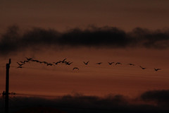Canadian Geese in the sunset (Walt Barnes) Tags: sunset bird nature twilight scenery wildlife flight calif sanpablo bif birdinflight wdbones99