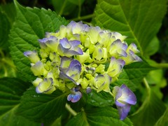 A memory is a photograph taken by the heart, to make a special moment last forever. (careth@2012) Tags: flower hydrangea naturescarousel anaturecanvas arborsquare frogpondflorals