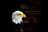 Weißkopfseeadler I - Haliaeetus Leucocephalus - Bald eagle (videamus) Tags: portrait usa nature birds dark stars star tiere eyes nikon darkness eagle you natur watching adler stripe bald gelb angry di mm braun augen amerika vögel tamron holz vc blick schwarz heimat dunkel usd tier vogel profil ausblick schnabel hintergrund kopf amerikanischer stolz greifvögel beobachten d600 weis sehen charakter aufnahme strenger federn streng markant raubvögel blicken ehre charakterkopf mysteriös bretter scharfe erhaben atemberaubend ausflugsziel souverän souveränität mysteriöser bestofblinkwinners 670300 markanter