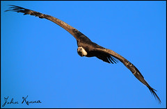 African White Backed Vulture in Flight (jKennaPhotography.) Tags: ireland irish white birds animal fly nikon clare african flight prey vulture backed birdsofprey d300 ailwee greatnature africanwhitebackedvulture jkennaphotography
