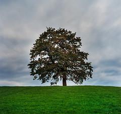 Tree. Hasselblad 503cx (Robert Mehlan - Munich) Tags: tree analog mnchen square bayern alt herbst wiese himmel wolken hasselblad grn baum einsamkeit 503 einsam mnsing 500x500 mittelformat hasselblad503cx epsonv700 kodakektar100 robertmehlan carlzeissplannar80mm28
