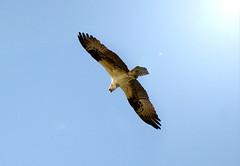 Birds of flight in Orlando FL (aowheels) Tags: blue sky nature birds flying high orlando wings nikon florida hawk pray flight lensflare sight largebirds d7000
