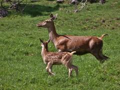 P1360218 (RRT:D*:D*) Tags: italy mountains alps animal animals deer alpi montagna animali animale cervo rrtdd