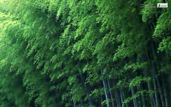 Bamboo forest wallpaper hd (Infoway LLC - Website Development Company) Tags: wallpaper beautiful wonderful nice superb awesome images exotic hd illustrator incredible breathtaking classy bambooforest mindblowing dryforest amazonrainforest greenforest winterforest woodforest junglewallpaper sunsetwallpaper islandwallpaper summerforest responsivewebsitedesign bambooforestwallpaperhd subtropicalforestwallpaper waterfallintropicalforest responsivewebdesigncompany mountainsnowforest yellowredautumnforest tropicaldesertisland tropicalforestwithriver