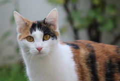 A Lucky Cat (cMonk3y) Tags: macro rot cat eyes luck lucky katze braun augen makro schwarz miau glckskatze glck weis mietz moew
