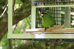 IMG_0606 cr ac (kiivikarhu) Tags: november newzealand birds spring wellington karori daytime kakariki nativebush linnut kevt zealandia marraskuu 2013 18135mm uusiseelanti redcrownedparakeet canon70d pivsaika uudenseelanninviherkaija
