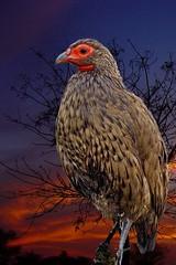 Art Combo (Arno Meintjes Wildlife) Tags: wallpaper bird art wildlife combo arnomeintjes