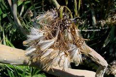 Kleinia neriifolia (Kelley Macdonald) Tags: asteraceae mountaingrass kleinia kleinianeriifolia seneciokleinia theruthbancroftgarden