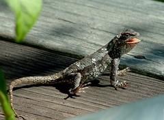 Smiling Lizard on Porch (hardmile) Tags: nature beauty outdoors reptile wildlife magic lizard lizards reptiles