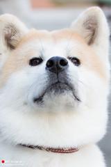 A Japanese dog called 'Akitaken' (Masahiko Futami) Tags: cute nature animal japan canon asia photographer     moka  akitadog   eos5dmarkiii