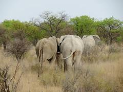 African bush elephant (Loxodonta africana) (Linda DV (away)) Tags: geotagged geomapped powershotsx40 nature river 2013 lindadevolder canon travel africa southernafrica namibia etosha nationalpark iucnredlist vulnerable elephant loxodontaafricana africanbushelephant elephantidae buttocks afrotheria