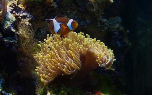 Błazenek i ukwiał. Clownfish and sea anemone, Gdynia, Poland