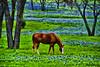 Bluebonnet Meadow (Jeff Clow) Tags: horse nature landscape texas western photoart southwestern digitalartwork ©jeffrclow bluebonnnets