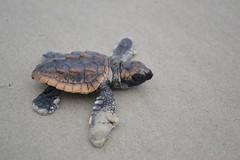 DSC_0168 (krelizabeth) Tags: ocean beach sand nest turtle egg northcarolina hatch endangered seaturtle endangeredspecies babyturtle onslowbeach