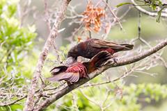 Kaka_3335 (Janice McKenna | eyemac23 | photography) Tags: newzealand bird canon wildlife parrot wellington kaka karorisanctuary aotearoa zealandia forestparrot nestormeridionalisseptentrionalis december2013 strigopidae